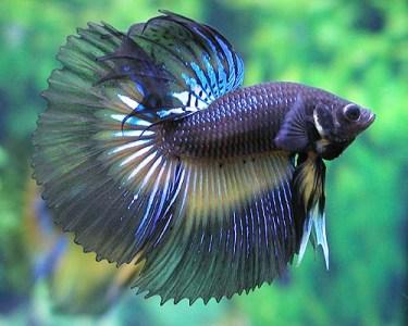 Jenis – Jenis Cupang, Ikan Petarung « Maulanar's Blo