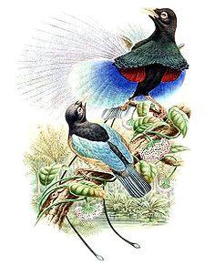 Jenis Burung Cendrawasih Berukuran Panjang Sekitar 30cm Genus Paradisaea Berwarna